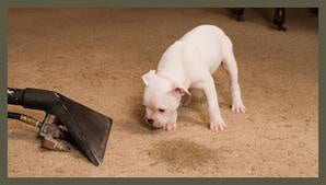 Pet odor and stain removal treatment of your carpets, rugs, and upholstery by NY Carpet Cleaning, Inc.